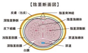 ペニスの構造画像