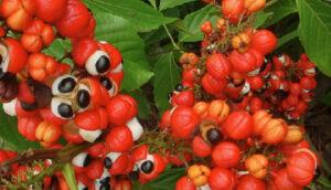 ガラナ植物画像